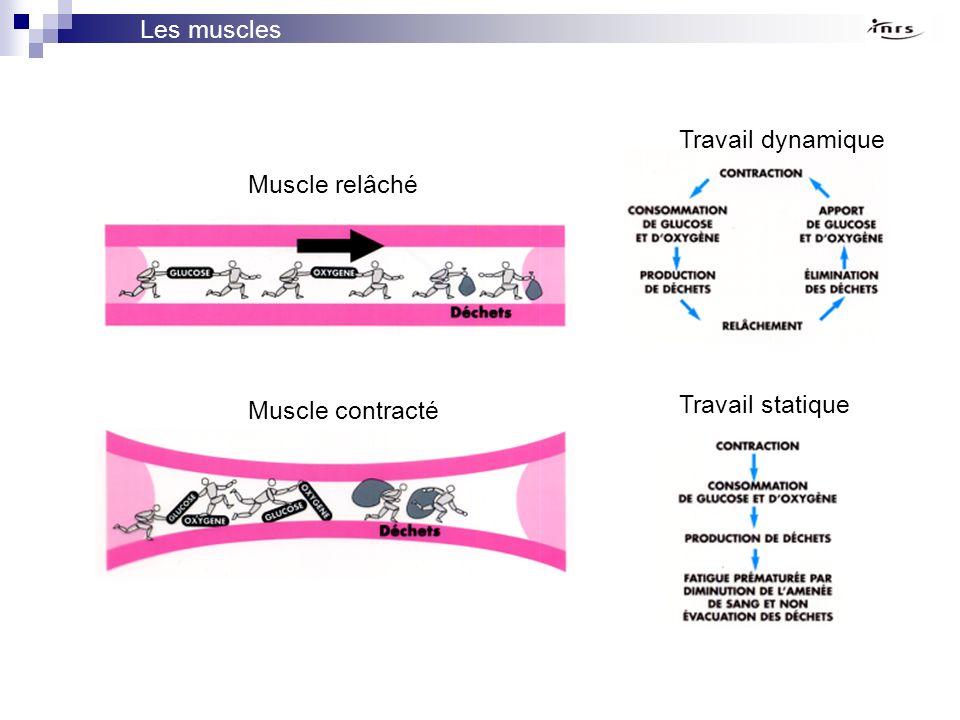 Muscle relâché Muscle contracté Travail dynamique Travail statique Les muscles