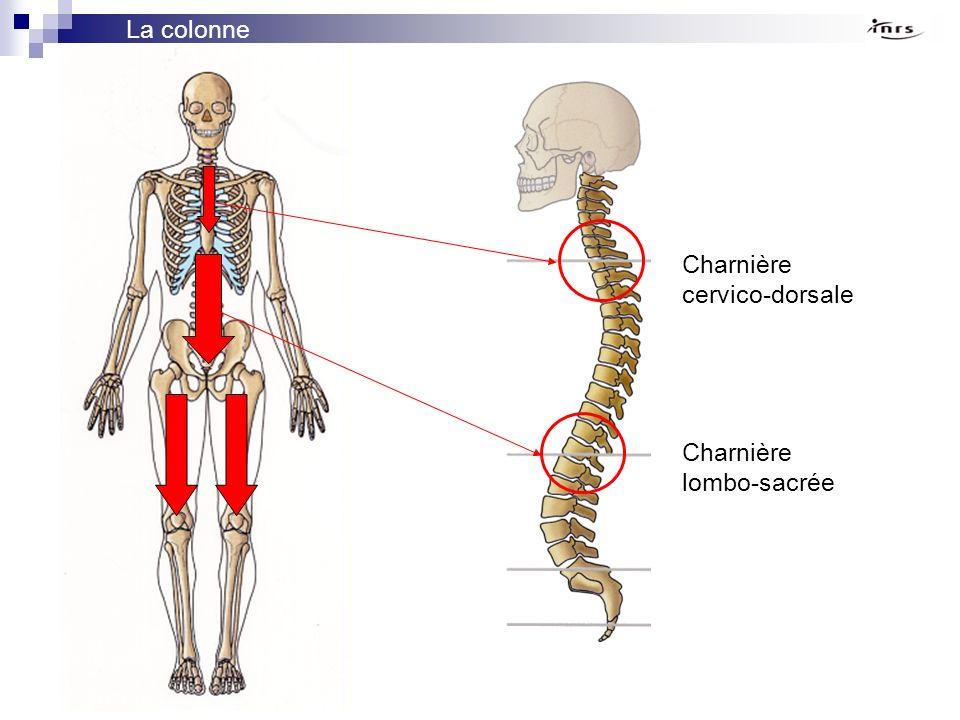 La colonne vertébrale Charnière cervico-dorsale Charnière lombo-sacrée