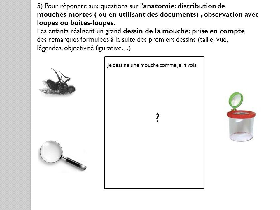 5) Pour répondre aux questions sur lanatomie: distribution de mouches mortes ( ou en utilisant des documents), observation avec loupes ou boîtes-loupe