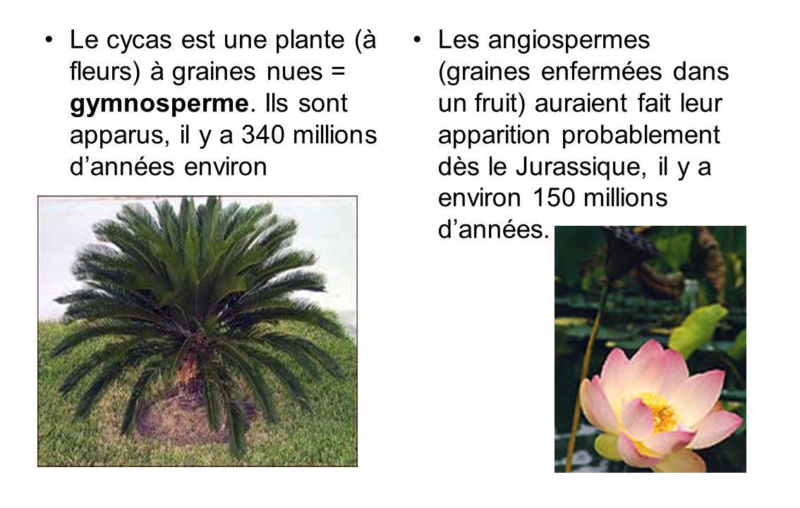 Le cycas est une plante (à fleurs) à graines nues = gymnosperme. Ils sont apparus, il y a 340 millions dannées environ Les angiospermes (graines enfer