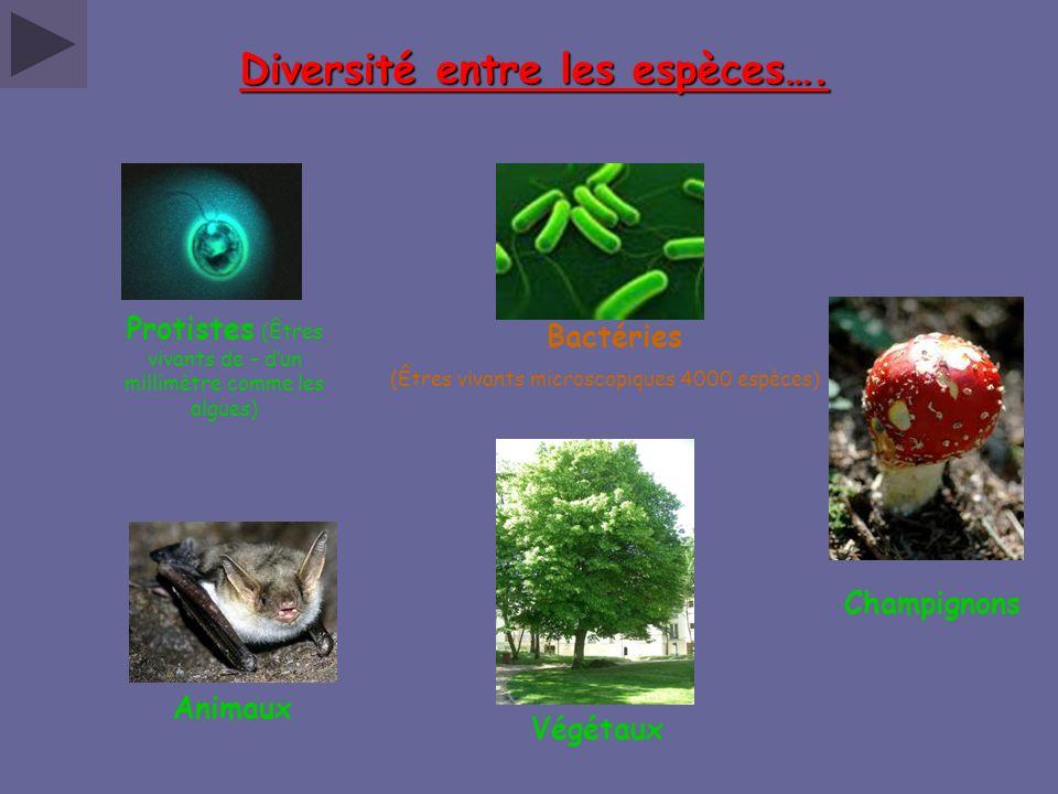 Diversité entre les espèces…. Champignons Bactéries (Êtres vivants microscopiques 4000 espèces) Protistes (Êtres vivants de – dun millimètre comme les