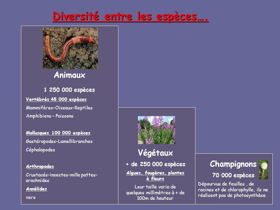 Diversité entre les espèces…. Végétaux + de 250 000 espèces Algues, fougères, plantes à fleurs Leur taille varie de quelques millimètres à + de 100m d