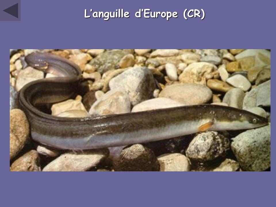 Languille dEurope (CR)