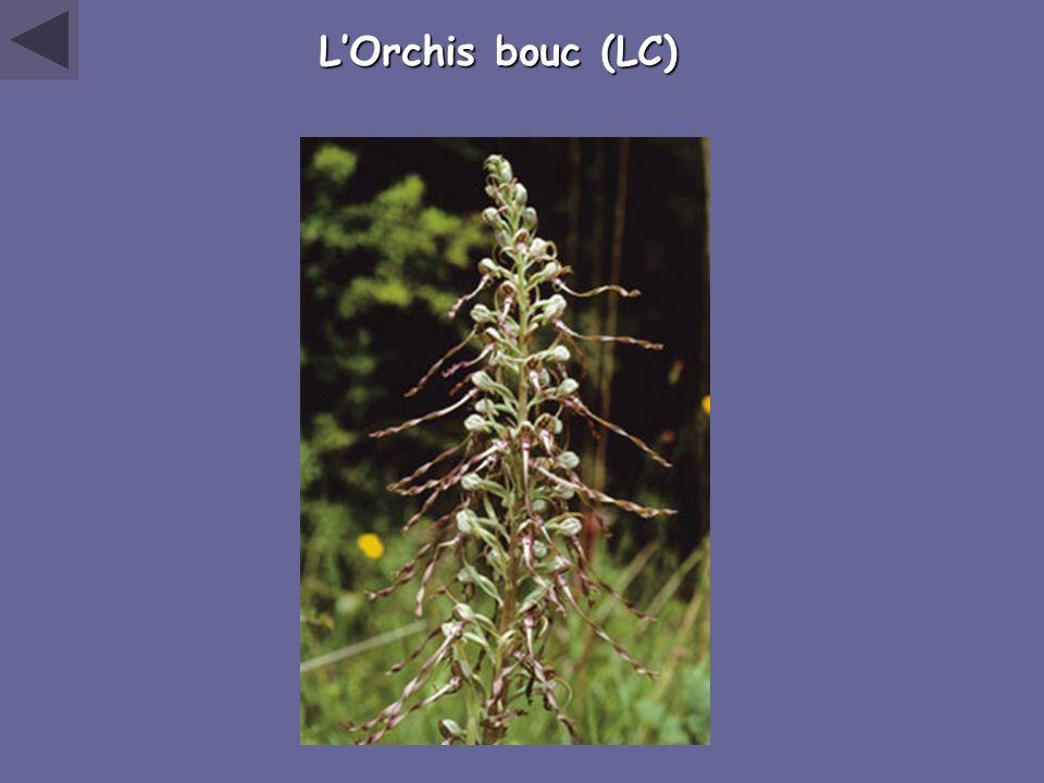 LOrchis bouc (LC)
