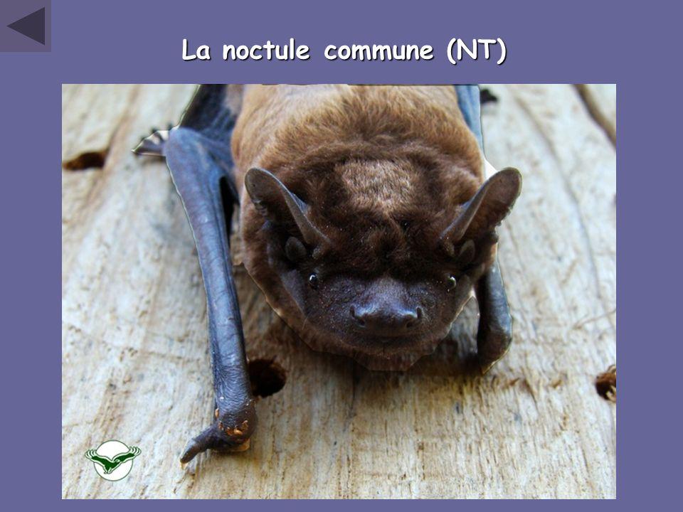 La noctule commune (NT)