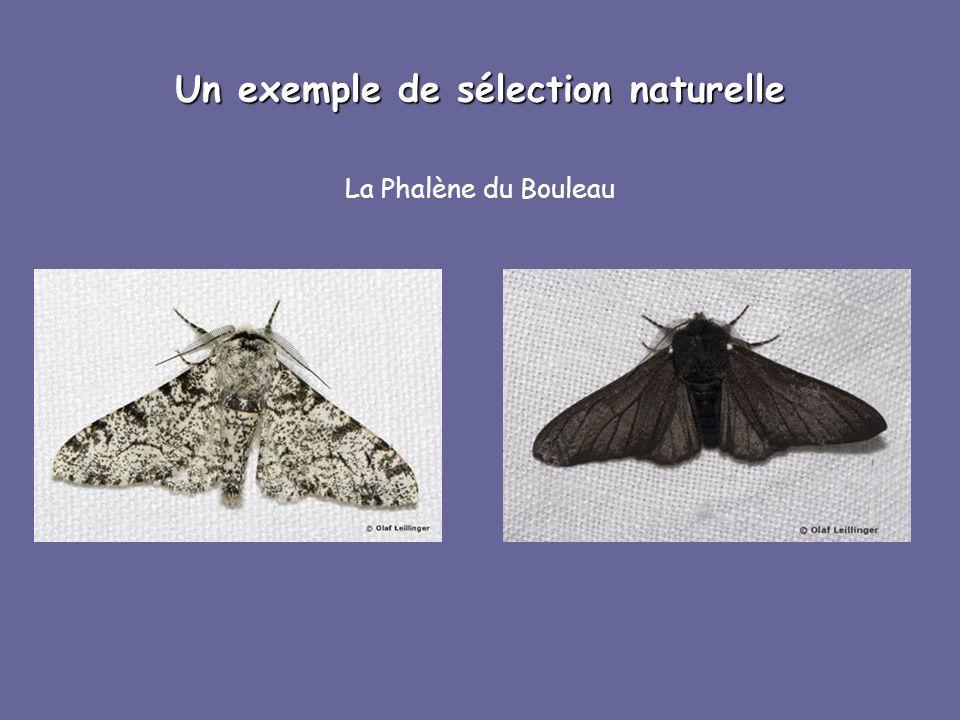 Un exemple de sélection naturelle La Phalène du Bouleau