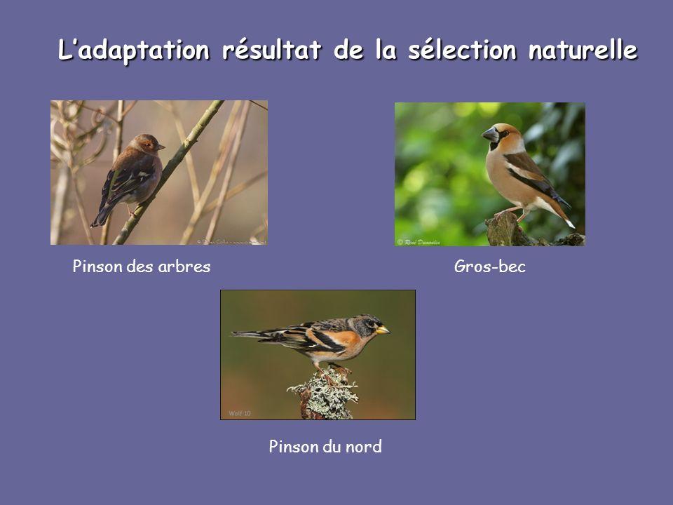 Ladaptation résultat de la sélection naturelle Pinson des arbresGros-bec Pinson du nord