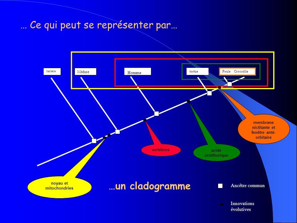 On essaye dappliquer au programme de 3 ème … bactérie Poule, Crocodile tortueHomme Méduse Ceux qui possèdent un noyau et des mitochondries Ceux qui possèdent des vertèbres Ceux qui possèdent lacide ornithurique Ceux qui possèdent une membrane nictitante et une fenêtre anté-orbitaire On compare les êtres vivants : ils ont des attributs communs, on peut donc imaginer quils les ont hérités dun ancêtre commun… Puisquils ont un ancêtre commun, ils sont donc parents .