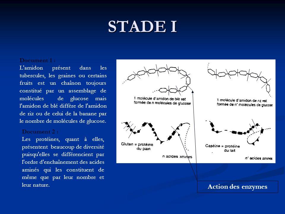 STADE I Document 1 : L'amidon présent dans les tubercules, les graines ou certains fruits est un chaînon toujours constitué par un assemblage de moléc