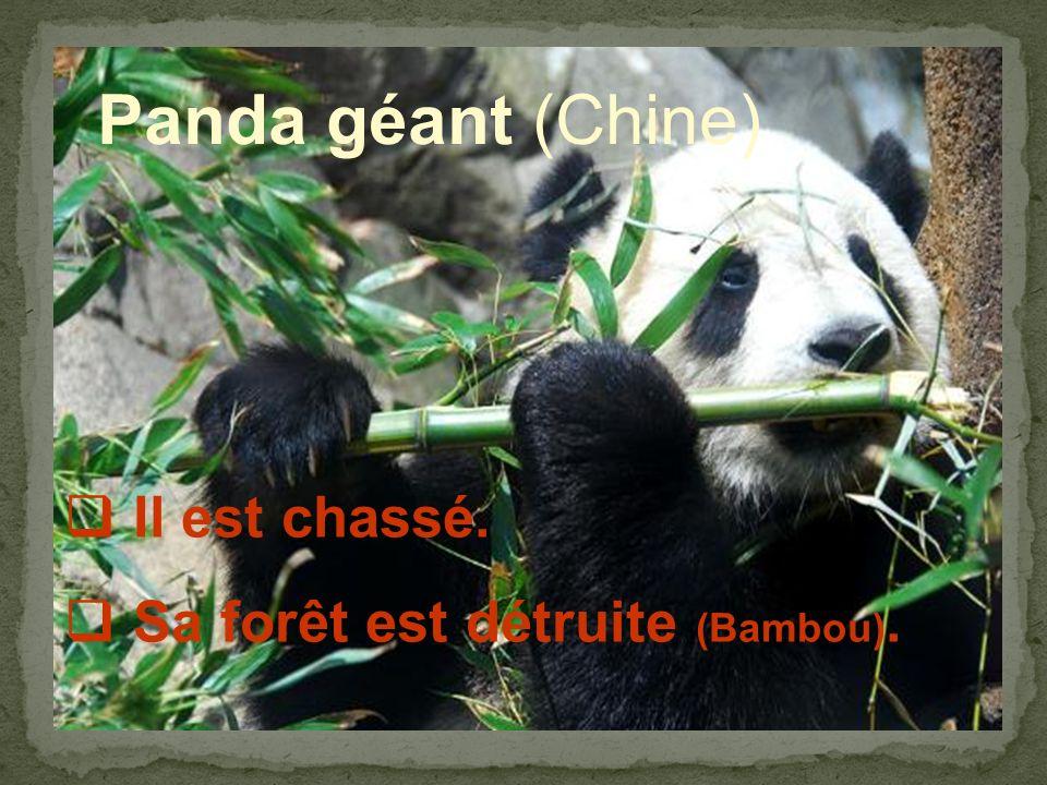 Panda géant (Chine) Il est chassé. Sa forêt est détruite (Bambou).