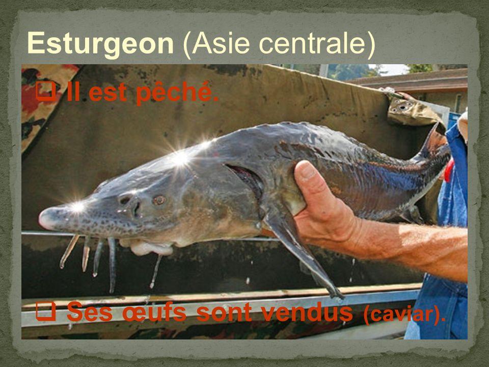 Esturgeon (Asie centrale) Il est pêché. Ses œufs sont vendus (caviar).