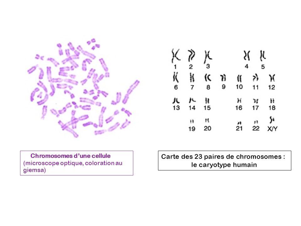 Chromosomes dune cellule (microscope optique, coloration au giemsa) Carte des 23 paires de chromosomes : le caryotype humain