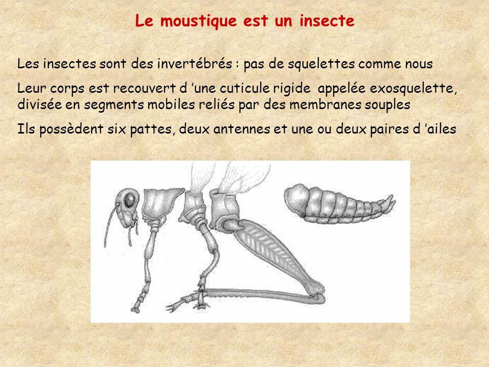 Les insectes sont des invertébrés : pas de squelettes comme nous Leur corps est recouvert d une cuticule rigide appelée exosquelette, divisée en segments mobiles reliés par des membranes souples Ils possèdent six pattes, deux antennes et une ou deux paires d ailes Le moustique est un insecte