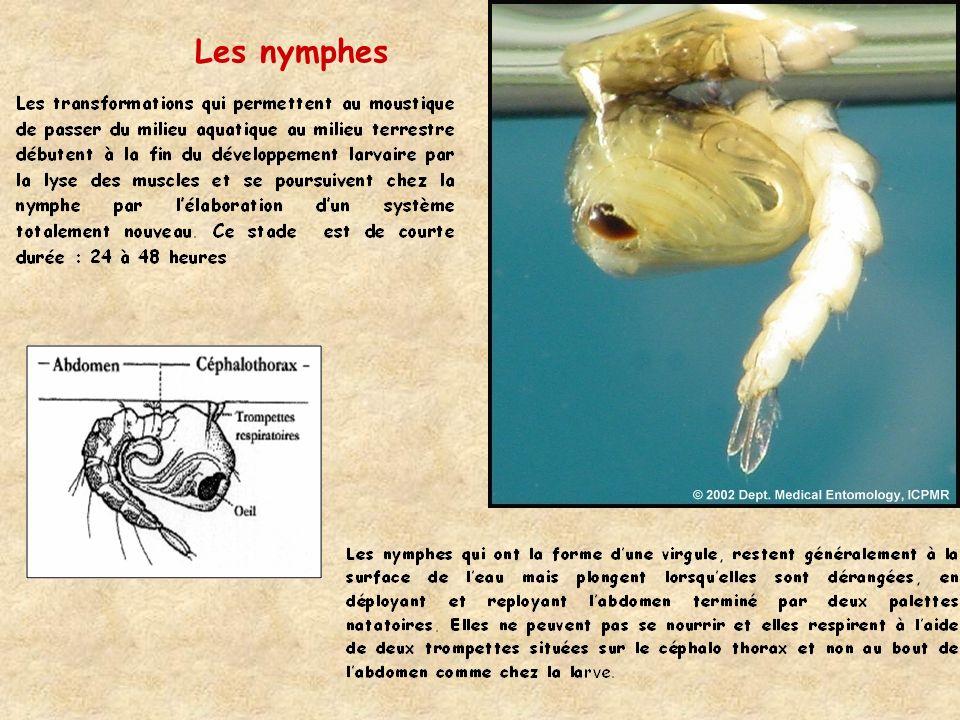 Les nymphes