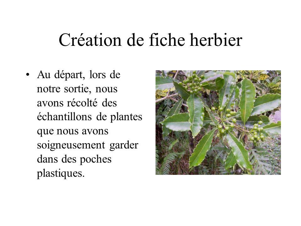 Création de fiche herbier Au départ, lors de notre sortie, nous avons récolté des échantillons de plantes que nous avons soigneusement garder dans des