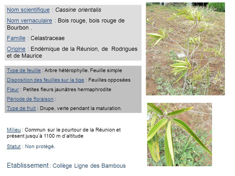 Nom scientifique : Cassine orientalis Nom vernaculaire : Bois rouge, bois rouge de Bourbon. Famille : Celastraceae Origine : Endémique de la Réunion,