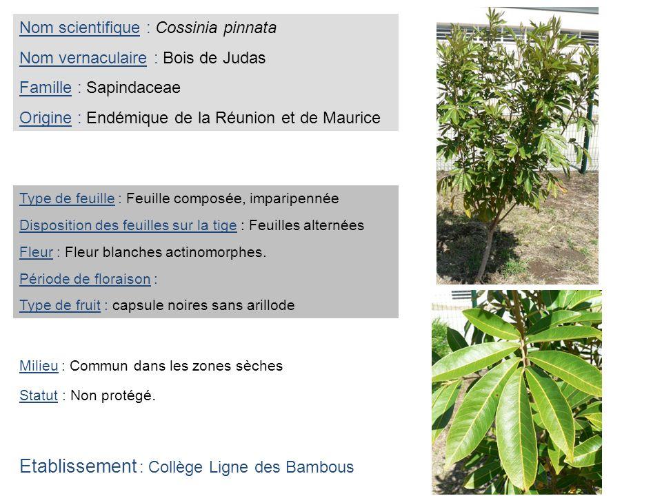 Nom scientifique : Cossinia pinnata Nom vernaculaire : Bois de Judas Famille : Sapindaceae Origine : Endémique de la Réunion et de Maurice Type de feu