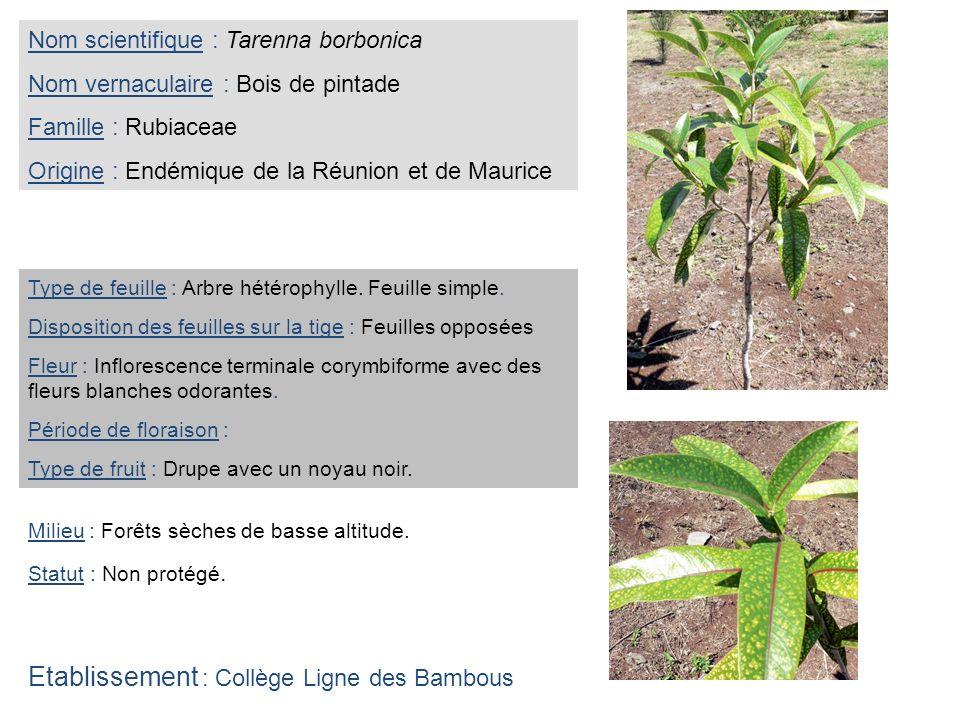 Nom scientifique : Tarenna borbonica Nom vernaculaire : Bois de pintade Famille : Rubiaceae Origine : Endémique de la Réunion et de Maurice Type de fe