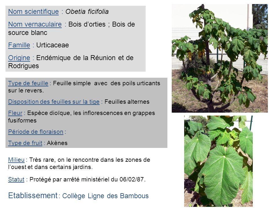 Nom scientifique : Obetia ficifolia Nom vernaculaire : Bois dorties ; Bois de source blanc Famille : Urticaceae Origine : Endémique de la Réunion et d