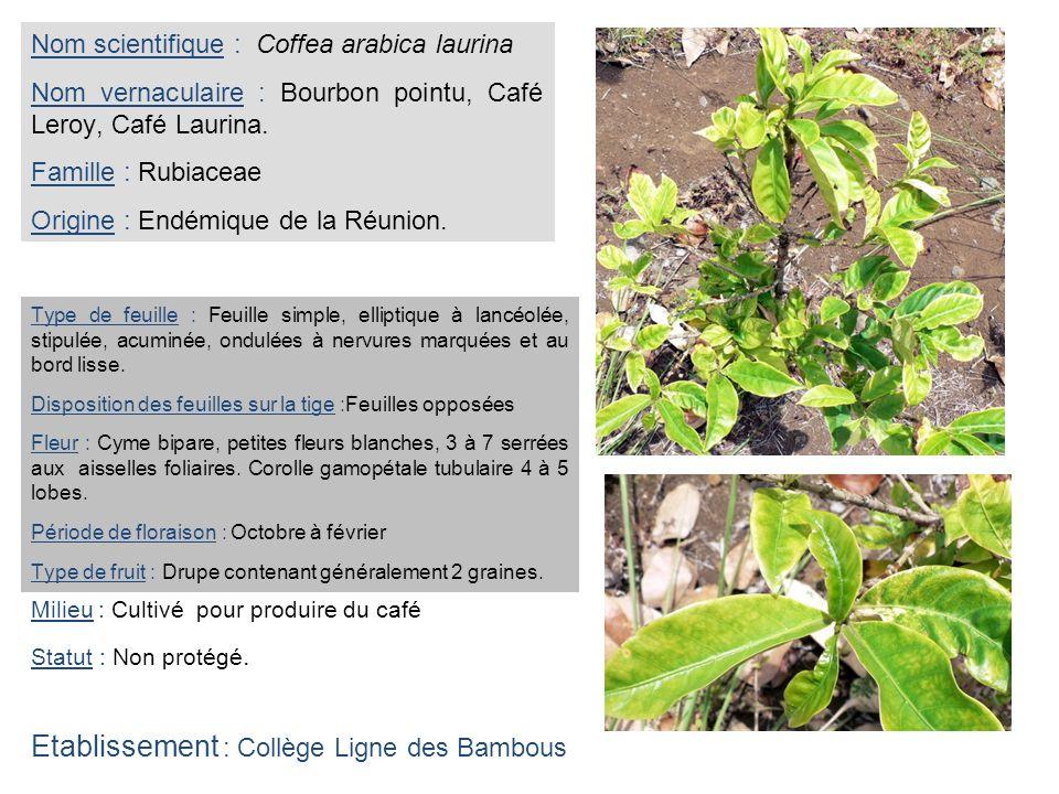 Nom scientifique : Coffea arabica laurina Nom vernaculaire : Bourbon pointu, Café Leroy, Café Laurina. Famille : Rubiaceae Origine : Endémique de la R