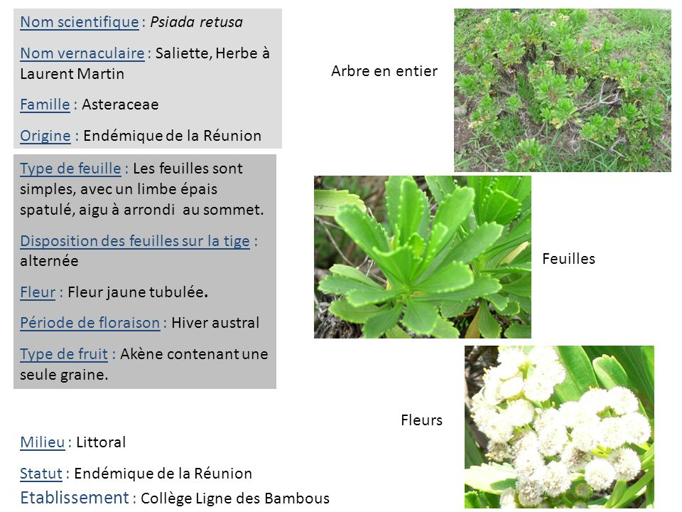 Feuilles Fleurs Arbre en entier Nom scientifique : Psiada retusa Nom vernaculaire : Saliette, Herbe à Laurent Martin Famille : Asteraceae Origine : En