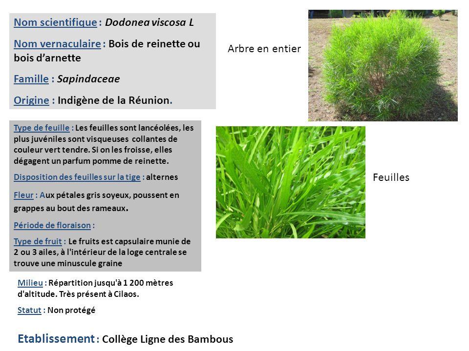 Nom scientifique : Coffea arabica laurina Nom vernaculaire : Bourbon pointu, Café Leroy, Café Laurina.