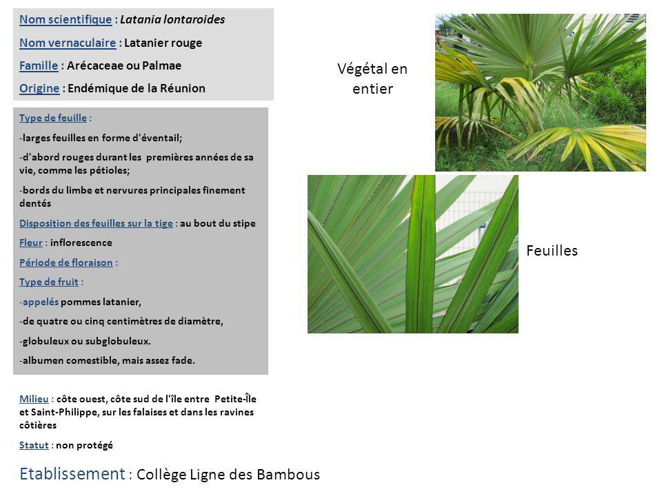 Feuilles Végétal en entier Nom scientifique : Latania lontaroides Nom vernaculaire : Latanier rouge Famille : Arécaceae ou Palmae Origine : Endémique
