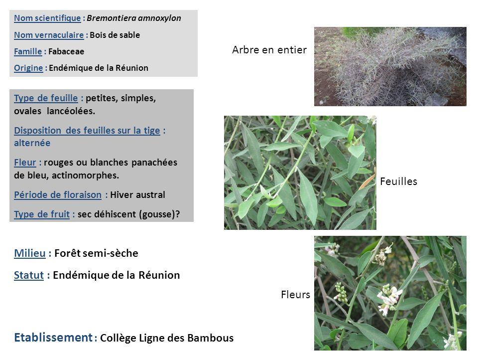 Feuilles Fleurs Arbre en entier Nom scientifique : Bremontiera amnoxylon Nom vernaculaire : Bois de sable Famille : Fabaceae Origine : Endémique de la