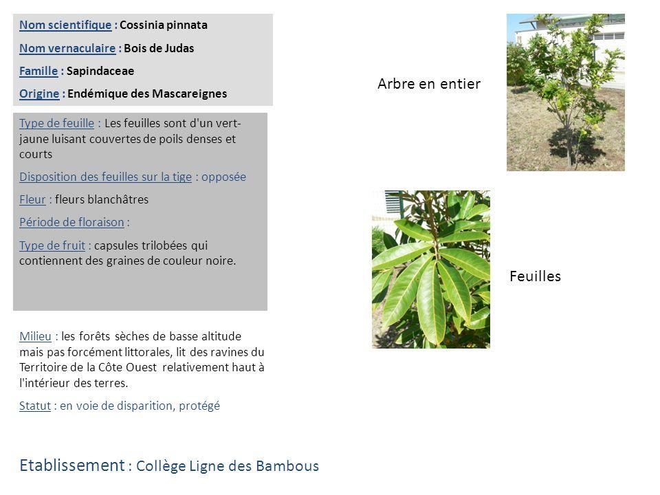 Feuilles Arbre en entier Nom scientifique : Fernellia buxifolia Nom vernaculaire : Bois de buis ou bois de balai Famille : Rubiaceae Origine : Endémique des Mascareignes Type de feuille : Les feuilles petites sont simples, pétiolées.