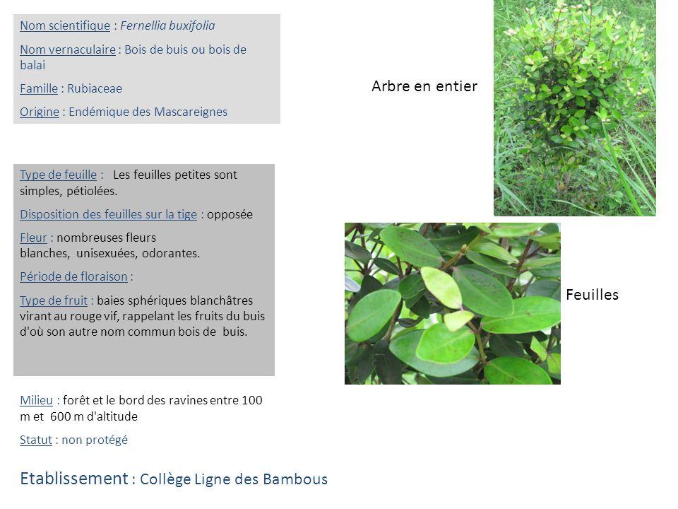 Feuilles Arbre en entier Nom scientifique : Fernellia buxifolia Nom vernaculaire : Bois de buis ou bois de balai Famille : Rubiaceae Origine : Endémiq