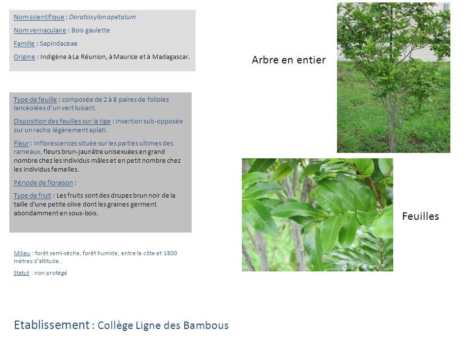 Feuilles Arbre en entier Nom scientifique : Doratoxylon apetalum Nom vernaculaire : Bois gaulette Famille : Sapindaceae Origine : Indigène à La Réunio
