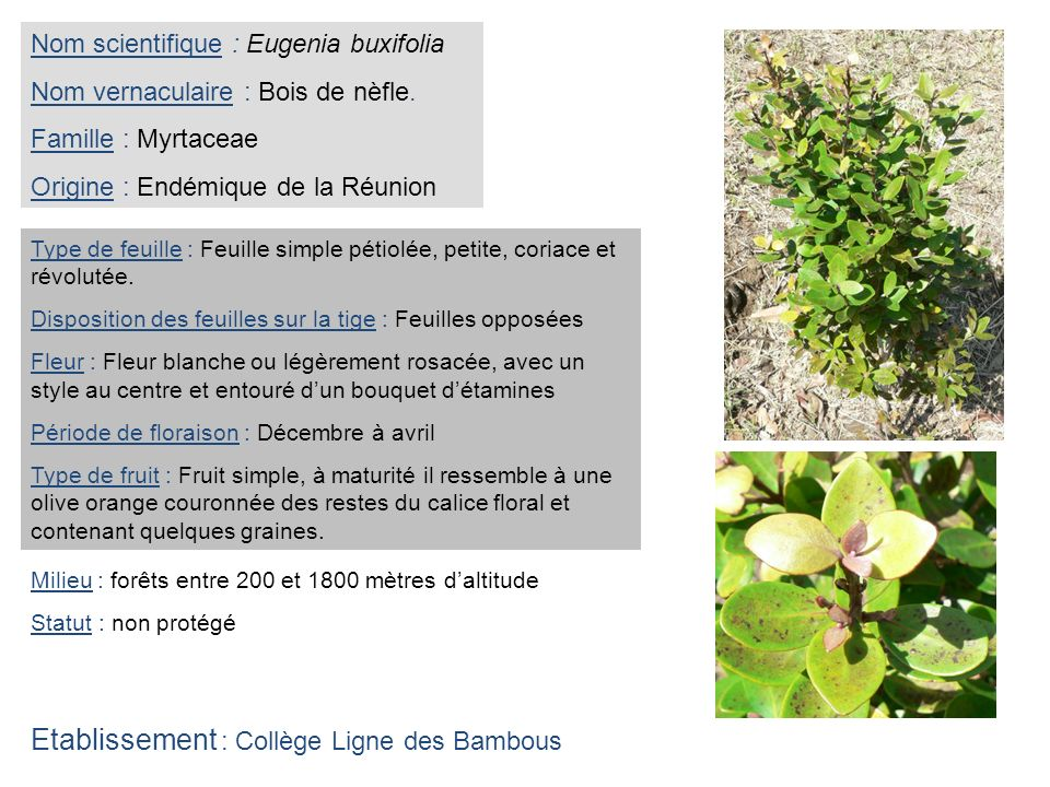 Nom scientifique : Eugenia buxifolia Nom vernaculaire : Bois de nèfle. Famille : Myrtaceae Origine : Endémique de la Réunion Type de feuille : Feuille