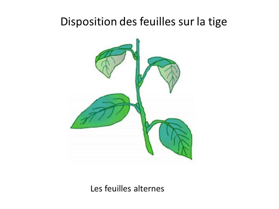 Les feuilles diffèrent par la marge La marge dentée
