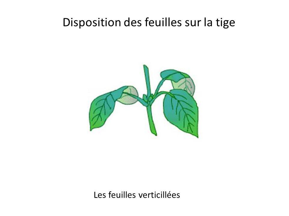 Les feuilles peuvent être simples ou composées Une feuille simple