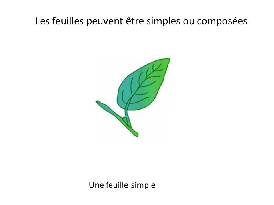Les feuilles peuvent être simples ou composées Une feuille composée en éventail