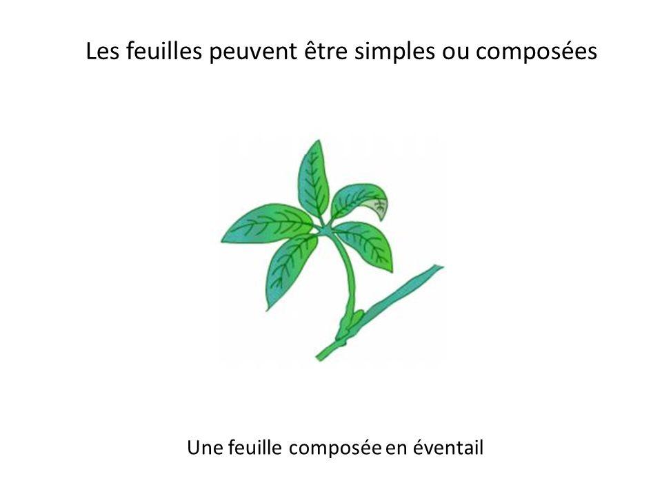 Les feuilles peuvent être simples ou composées Une feuille composée pennée