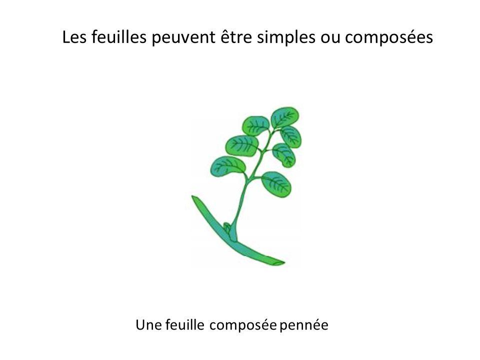 Les feuilles diffèrent par la forme Une feuille lancéolée