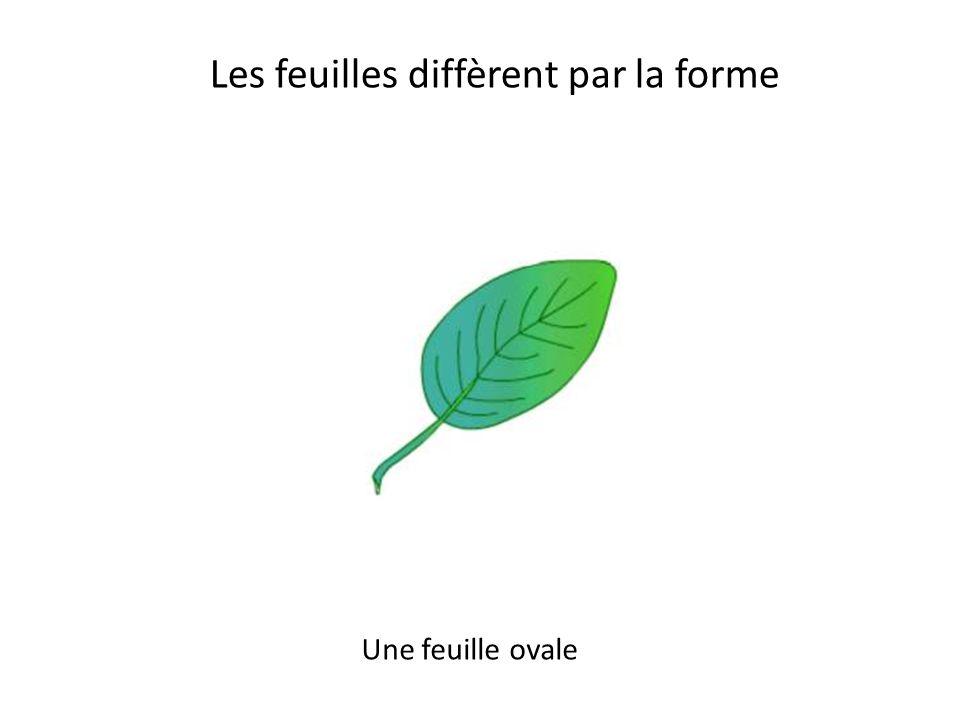 Les feuilles diffèrent par la forme Une feuille cordée