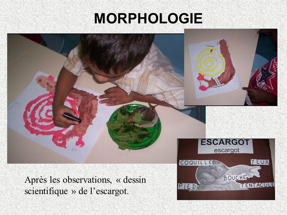 MORPHOLOGIE Après les observations, « dessin scientifique » de lescargot.