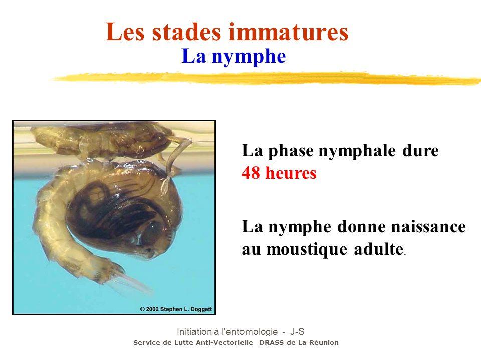 Initiation à l'entomologie - J-S DEHECQ Service de Lutte Anti-Vectorielle DRASS de La Réunion La nymphe donne naissance au moustique adulte. La nymphe