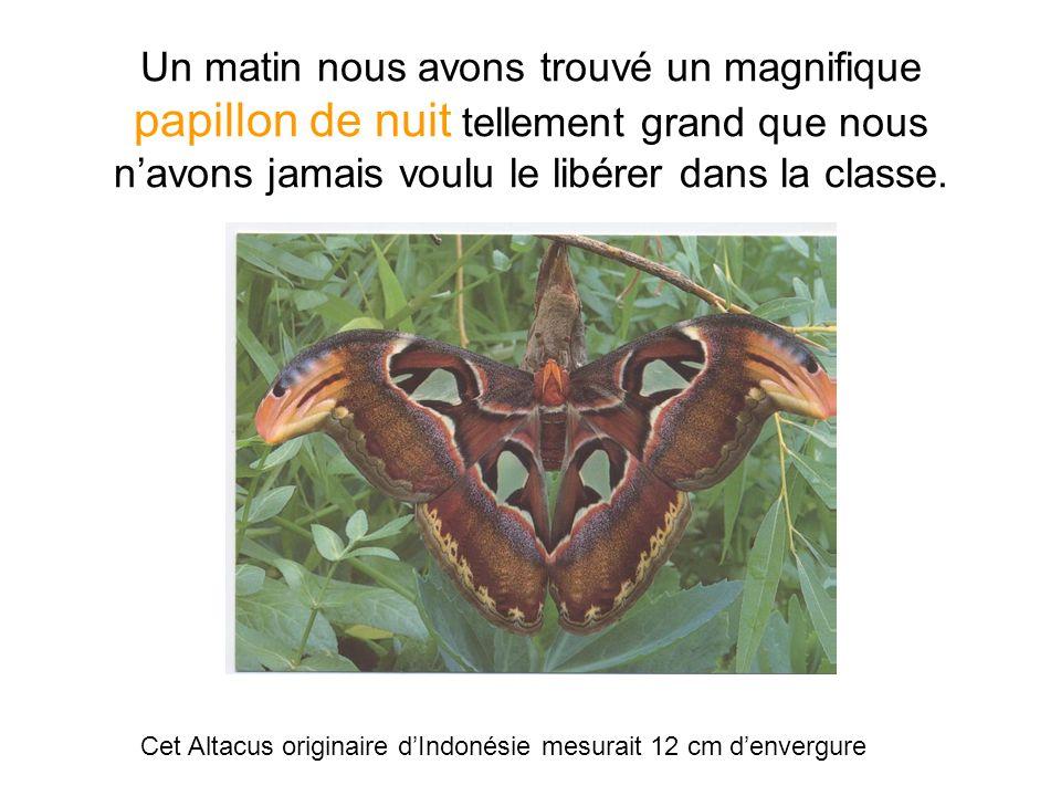 Un matin nous avons trouvé un magnifique papillon de nuit tellement grand que nous navons jamais voulu le libérer dans la classe.