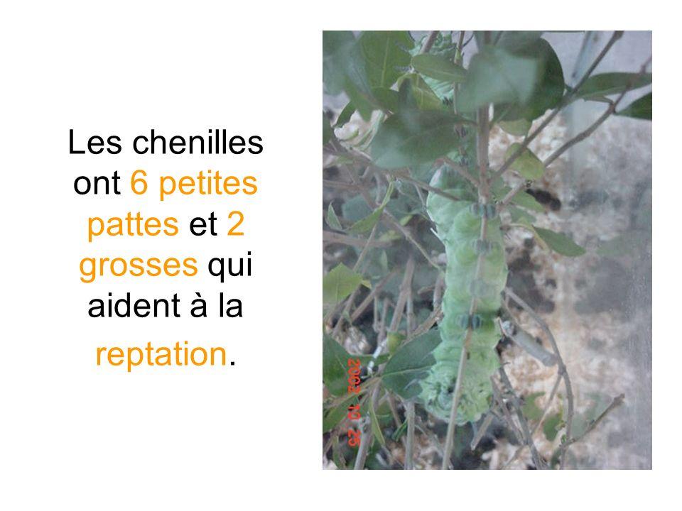 Les chenilles ont 6 petites pattes et 2 grosses qui aident à la reptation.