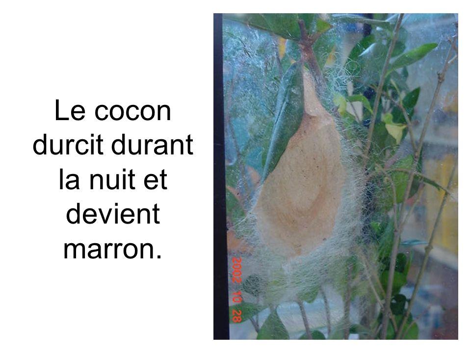 Le cocon durcit durant la nuit et devient marron.