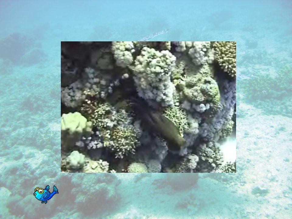 Le poulpe Le poulpe ou pieuvre est un céphalopode (ou poulpoïde) de la famille des octopodidae. Cet animal se caractérise par ses huit tentacules - po