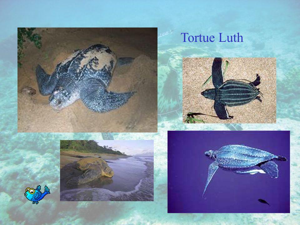 La tortue de mer Les membres des tortues marines sont transformés en ailerons. Ces tortues passent leur vie dans l'eau. Les femelles n'en sortent que