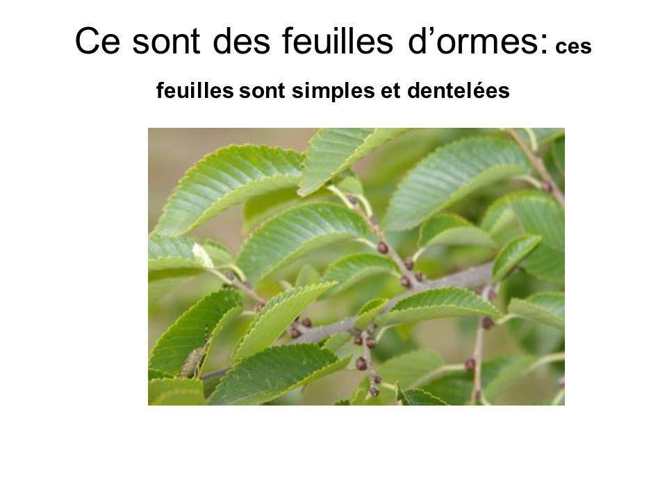 Ce sont des feuilles dormes: ces feuilles sont simples et dentelées