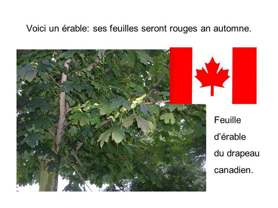 Voici un érable: ses feuilles seront rouges an automne. Feuille dérable du drapeau canadien.