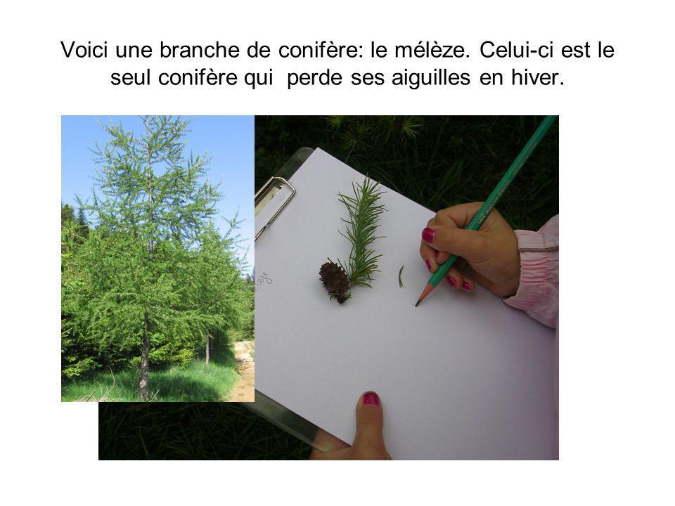 Voici une branche de conifère: le mélèze. Celui-ci est le seul conifère qui perde ses aiguilles en hiver.