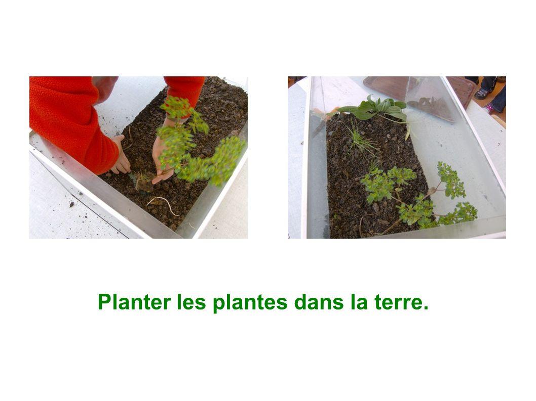 Planter les plantes dans la terre.
