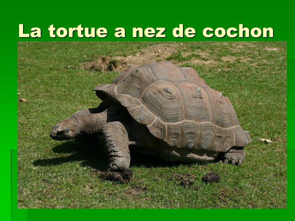 La tortue a nez de cochon